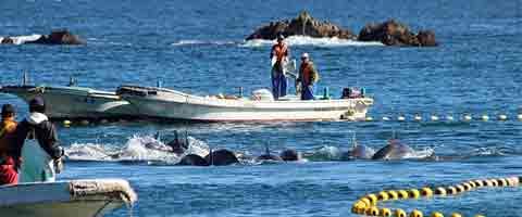 Imagen-Hoy comienza masacre de delfines en Taiji Cove