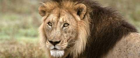 Imagen-Leon sobrevive en parque de Tanzania gracias a sus companeros