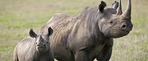 Imagen-La extincion del rinoceronte acabaria con el equilibrio ecologico en Africa
