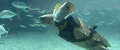 Imagen-Tortuga marina vuelve a nadar con una protesis inspirada en un avion de combate