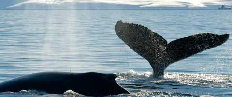 Imagen-Las ballenas tienen un arma para pelear contra el cambio climatico